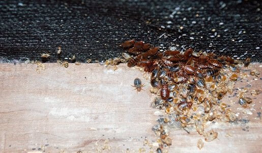 Bed Bug Control in Perth