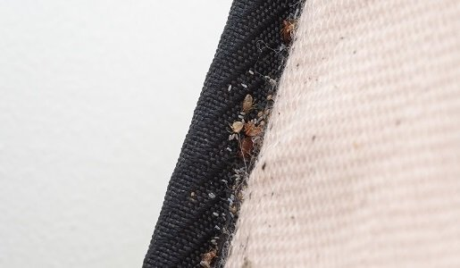 Bed Bugs Control in Geelong