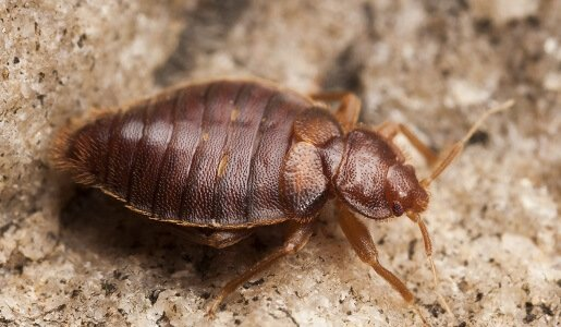 Bed Bugs Control in Gold Coast