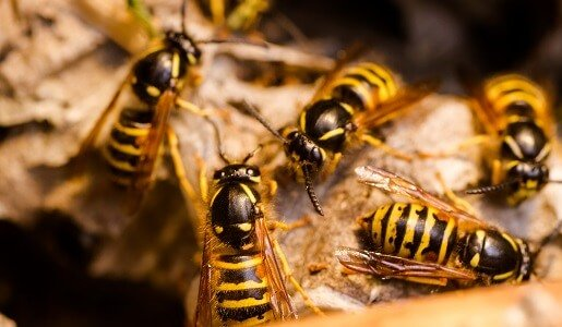 Bees and Wasps Control in Canberra