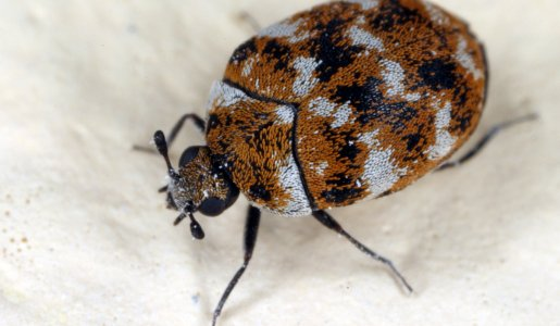 carpet-beetle-pest-control-service