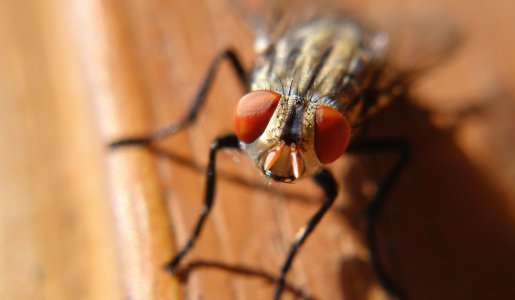 fly-infestation
