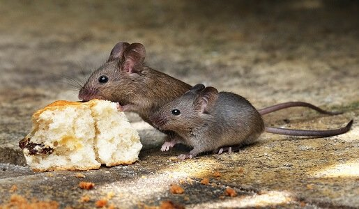 Mice and Rat Control in Canberra