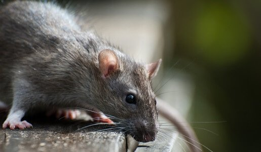 Mice and Rat Control in Perth