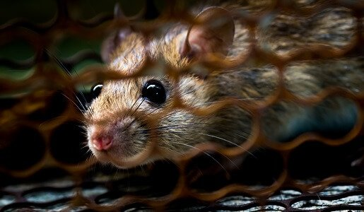 Mouse and Rat Control in Brisbane