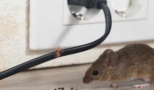 Mouse and Rat Control in Gold Coast