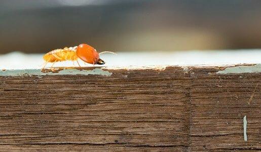 Termite Pest Control in Adelaide