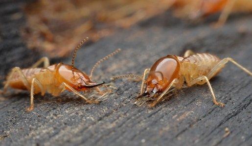 Termites Pest Control in Sydney