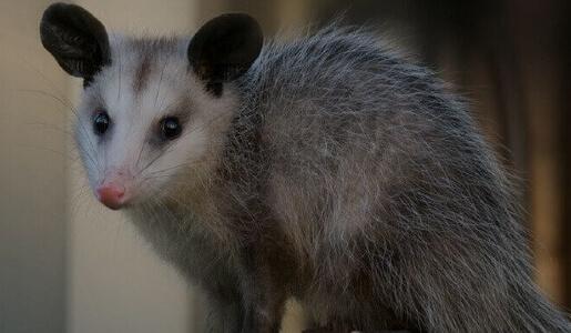 Possum Removal