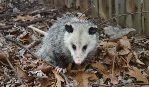Possum Removal Services